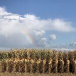Tradycją podczas Dni Kukurydzy w Skrzelewie jest prezentacja odmian różnych firm nasiennych
